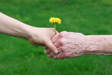 Young and senior's hand holding a dandelion