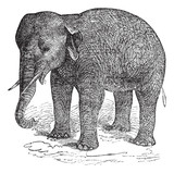 Asian Elephant or Asiatic elephant or Elephas maximus, vintage e poster