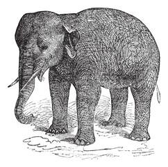 Asian Elephant or Asiatic elephant or Elephas maximus, vintage e