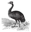 Emu or Dromaius novaehollandiae, vintage engraving