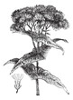Joe-pye weed or Eutrochium sp., vintage engraving