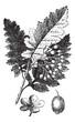 White Ash or Fraxinus americana vintage engraving