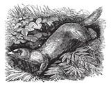 Ferret or Mustela putorius furo vintage engraving. poster