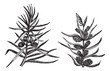Juniper vintage engraving
