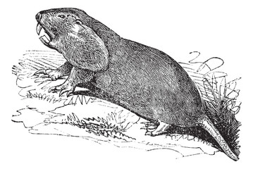 Plains Pocket Gopher or Geomys bursarius vintage engraving