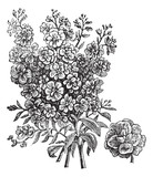 Double wallflower vintage engraving