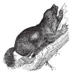 Wolverine or Gulo luscus vintage engraving