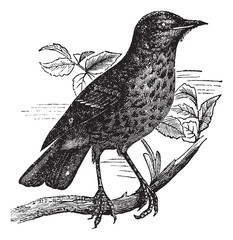 Thrush itself (Turdus musicus) or Redwing vintage engraving