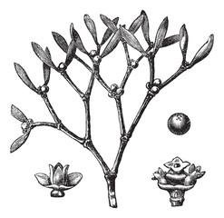 White mistletoe (Viscum album)  or European mistletoe vintage en