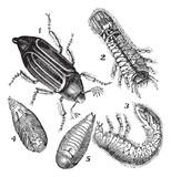 1.Regular Chafer (Melolontha vulgaris)  2.Larva rear view 3.Larv poster
