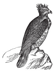 Harpy (thrasaetus harpyia) vintage engraving