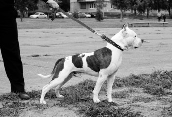 American staffordshire terrier on a walk with owner