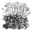 Beautiful Hepatica Triloba vintage engraving