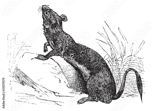 Stoat (Mustela erminea) or Ermine in summer pelt vintage engravi