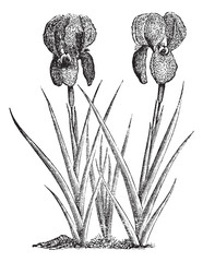 Mourning Iris or Iris susiana vintage engraving