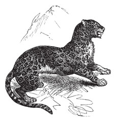 Jaguar or Panthera onca vintage engraving