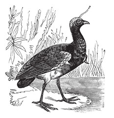 Horned Screamer or Anhima cornuta vintage engraving