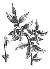 Bay leaves (Laurus nobilis) or sweet bay, vintage engraving