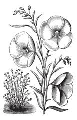 Linum grandiflorum or Red flax vintage engraving