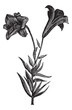 Beautiful long flowered lily, vintage engraving
