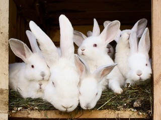 Little white rabbits with their mum