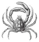 European spider crab or Maja squinado vintage engraving