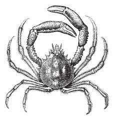 European spider crab or Maja squinado vintage engraving