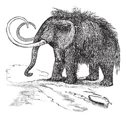 Woolly mammoth or Mammuthus primigenius vintage engraving