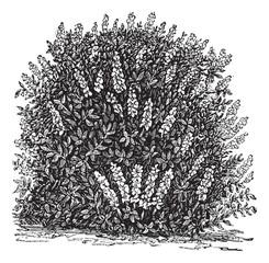 Bottlebrush Buckeye or Aesculus parviflora vintage engraving