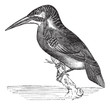 Common Kingfisher or Alcedo ispida vintage engraving