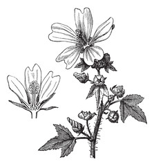 Common mallow or Malva sylvestris vintage engraving