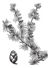 Tamarack (Larix Americana) or Hackmatack, vintage engraving