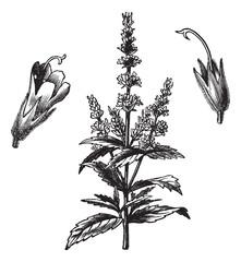 Common mint (Mentha Viridis), vintage engraving