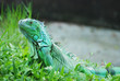 The beautiful iguana