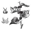 Black mulberry (Morus nigra), vintage engraving