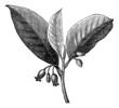 Nutmeg (Myristica fragrans), vintage engraving