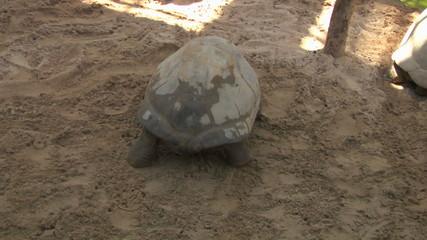 galapagos tortoise 04
