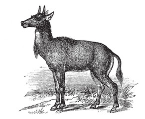 Nilgai or Nilgau or Boselaphus tragocamelus, vintage engraved il