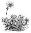 Oenothera missouriensis or Missouri Evening Primrose or Ozark Su