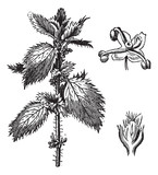 Stinging nettle or Urtica urens, with the staminate flowers and poster