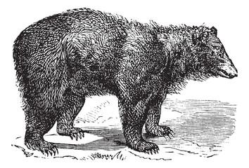 American Black bear (Ursus americanus), vintage engraving