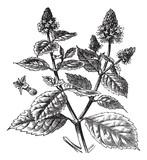 Patchouli or Pogostemon cablin, vintage engraving