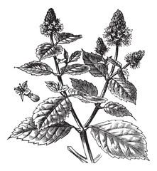 Patchouli or Pogostemon cablin, vintage engraving