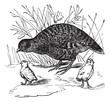 Grey Partridge or Perdix perdix, vintage engraving