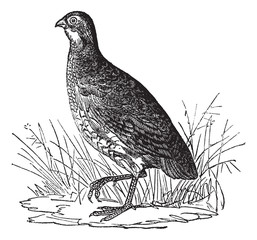 Bobwhite Quail or Northern Bobwhite or Virginia Quail or Colinus