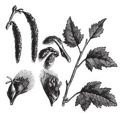 White Poplar or Populus alba, vintage engraving
