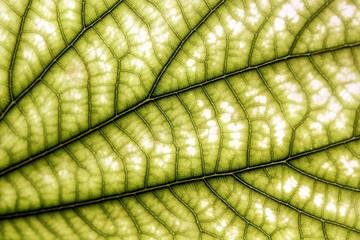 Leaf and viens