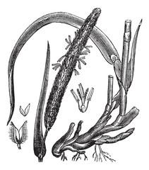 Timothy-grass (Phleum pratense), vintage engraving
