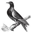 Common Wood Pigeon (Columba palumbus) or Culver, vintage engravi
