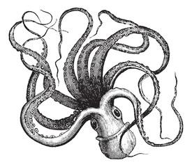 Common octopus (Octopus vulgaris), vintage engraving.